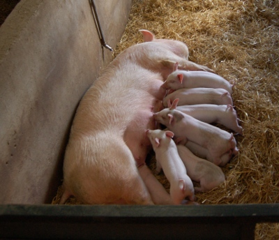 Piglets and mother at Cannon Hall Children's farm