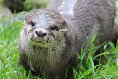 Otters at Dartmoor Zoo