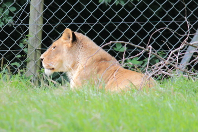 Lion at Dartmoor Zoological Park