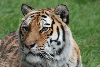 Tiger at Dartmoor Zoological Park