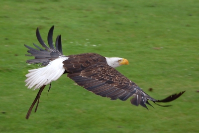Eagle in flight at the bird of prey show at Beekse Bergen