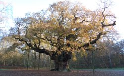 Major Oak Sherwood Forest