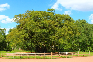 The major oak at Sherwood Forest