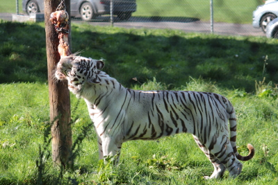 West Midlands Safari Park - White Tiger eating